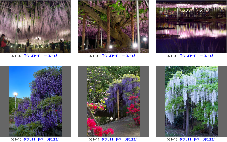 写楽 栃木県 足利フラワーパーク写真素材